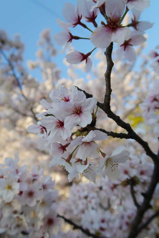 2017年の桜も終了か…