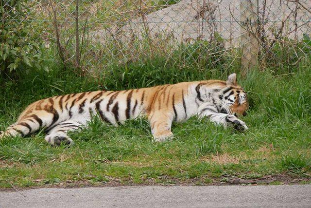 トラは睡眠モード