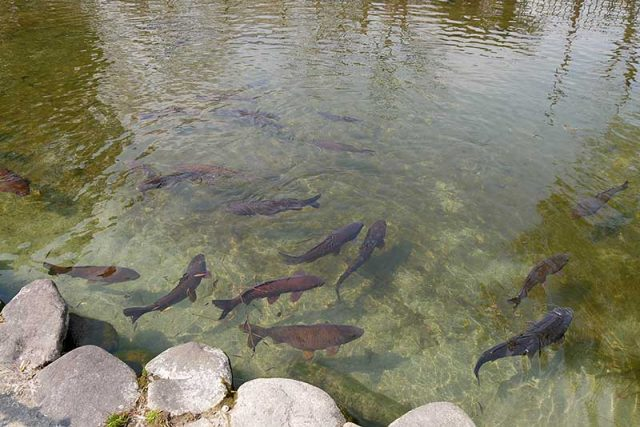 池には鯉が泳いでいます