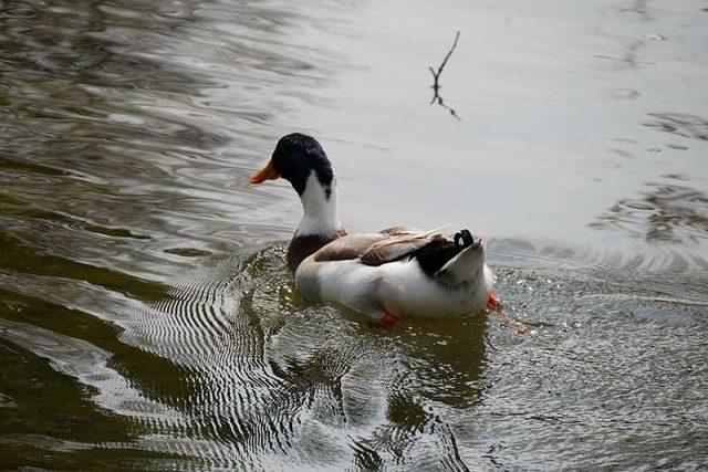 池には鴨も居ます