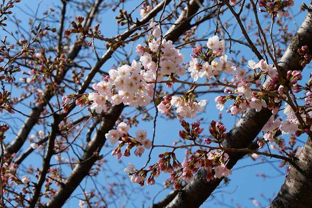 王子動物園の桜!少し早かったか??