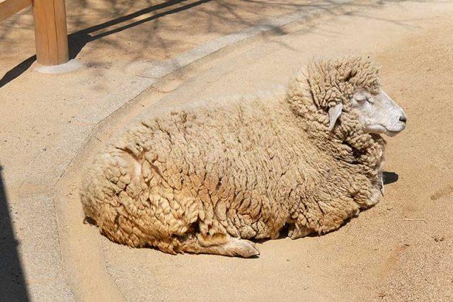 羊を発見!!