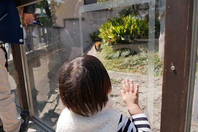 レッサーパンダを夢中で見ています