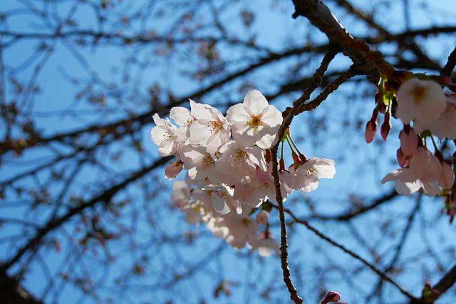 咲いている桜もあります!!