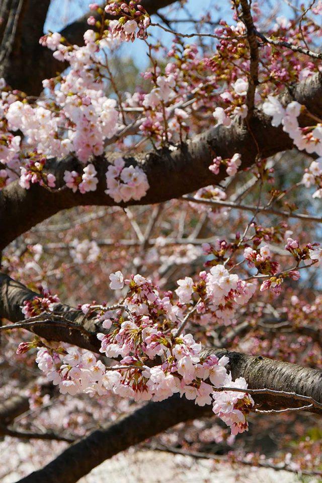 桜が綺麗に咲いています