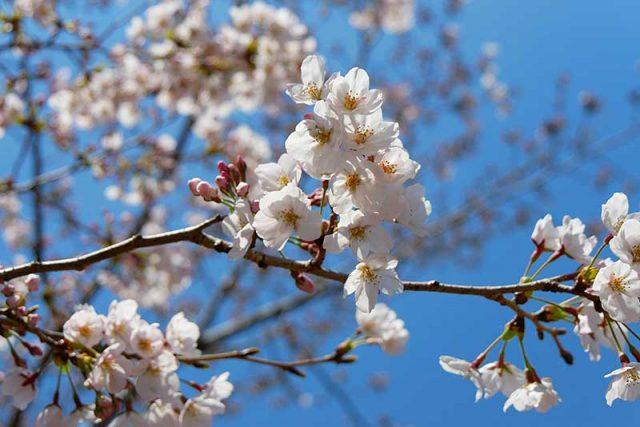 桜が八分ざき