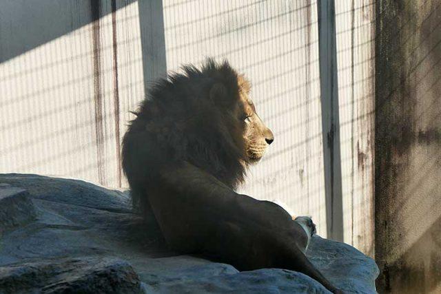 ライオン発見!!