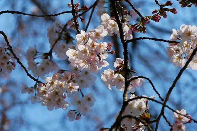 桜も心地よいポカポカ陽気