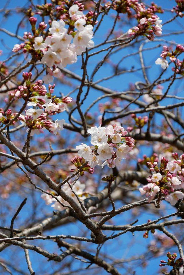 桜を見ながら帰路へ