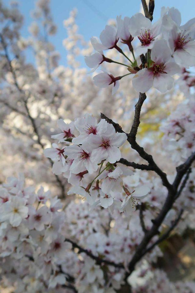 PowerShot G7 X Mark IIで桜を撮影