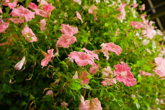 綺麗なピンク色