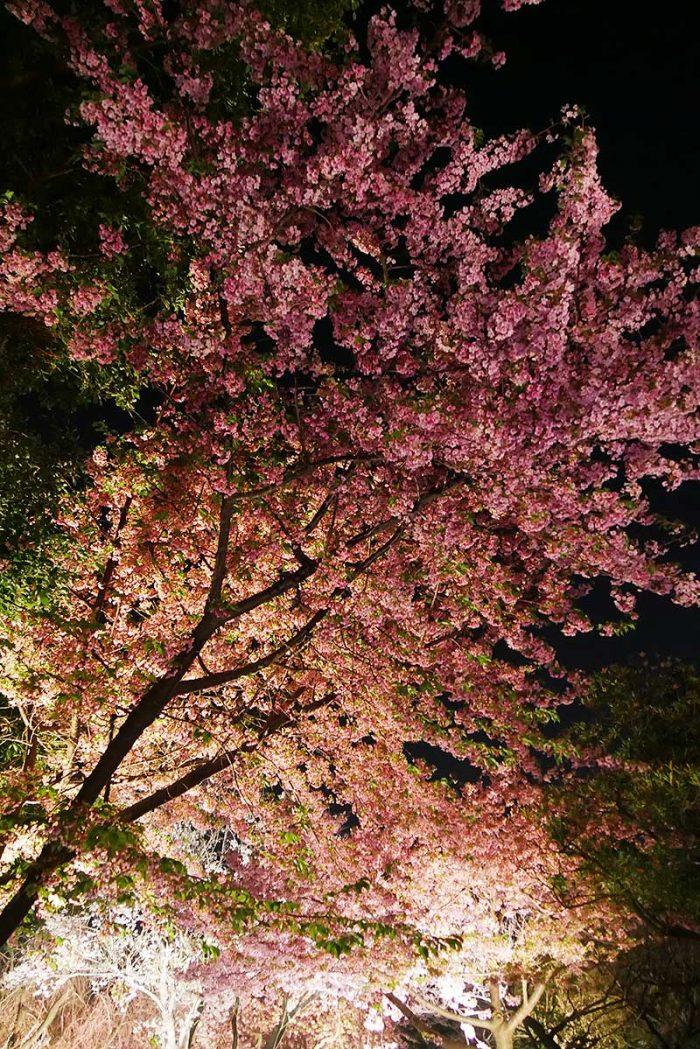 夜桜を見ながら