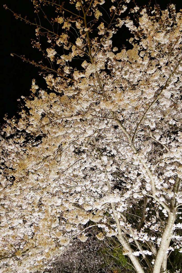 夜桜が最高に綺麗!!