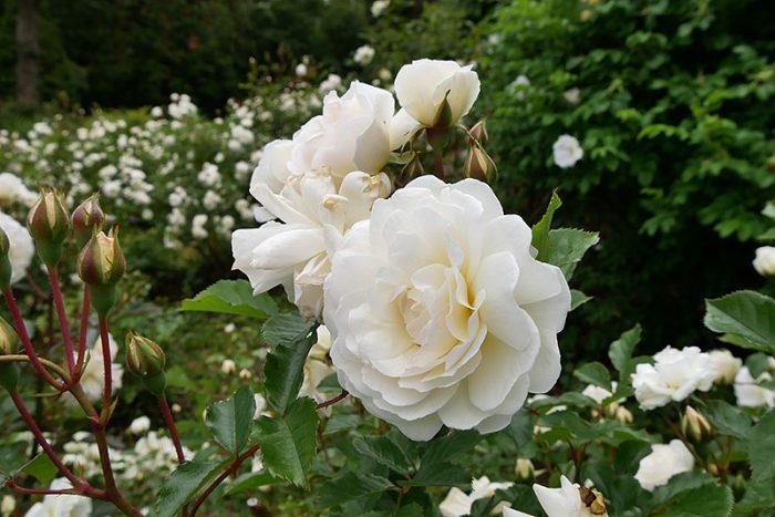 バラが綺麗