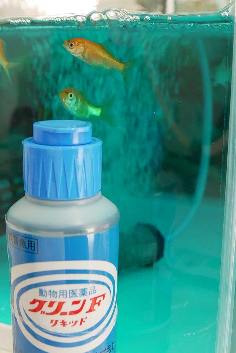 金魚の薬浴中