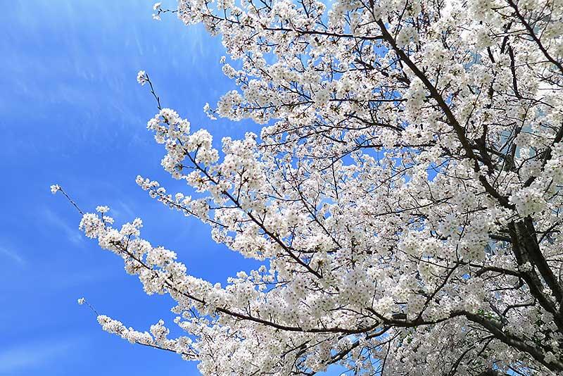 綺麗な桜と青空
