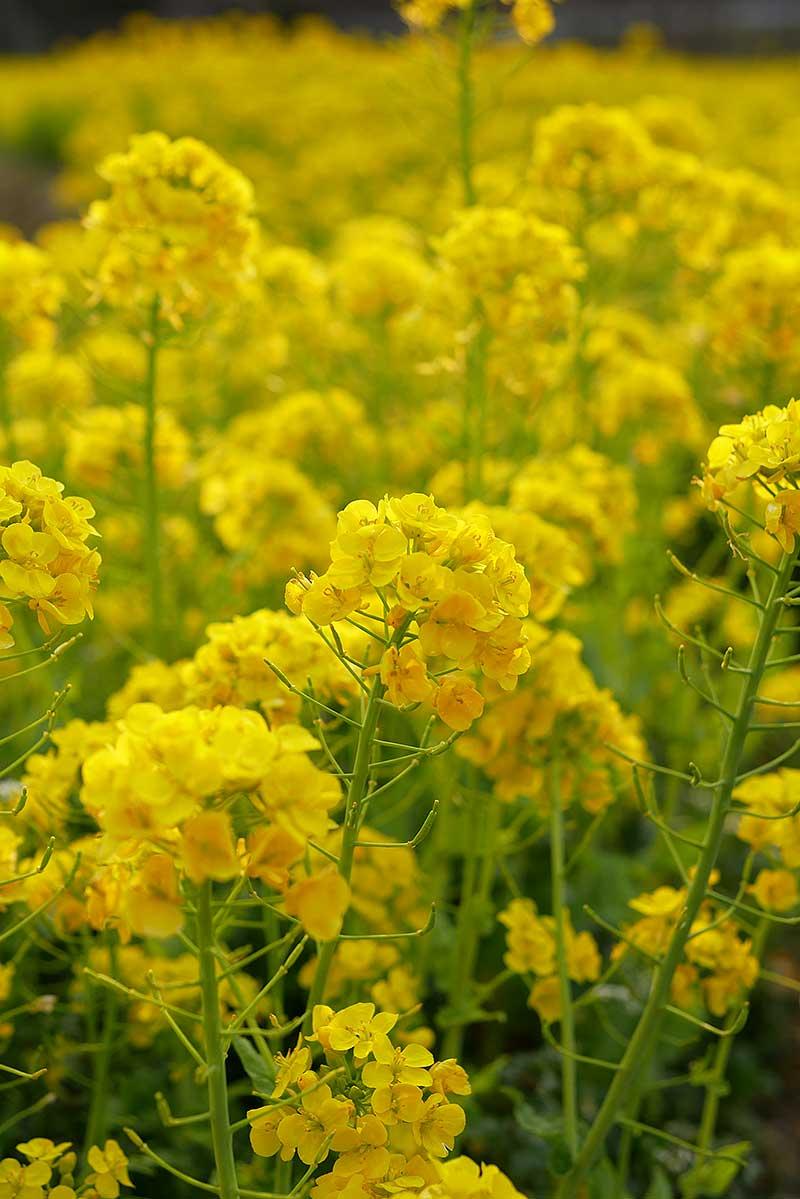 綺麗な菜の花