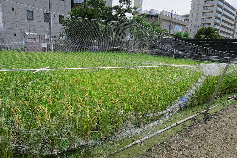 豊かに実った稲