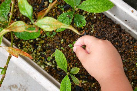 幼稚園児が枇杷(ビワ)の種を植えて育てる観察日記 / EP3