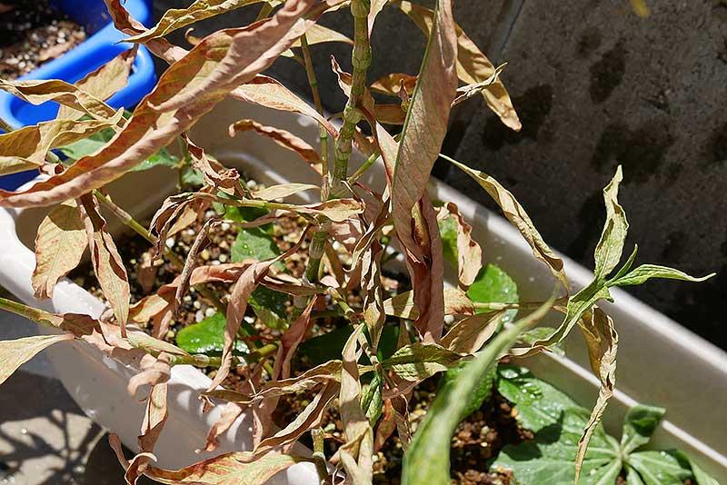枇杷を植えた三ヶ月後の様子