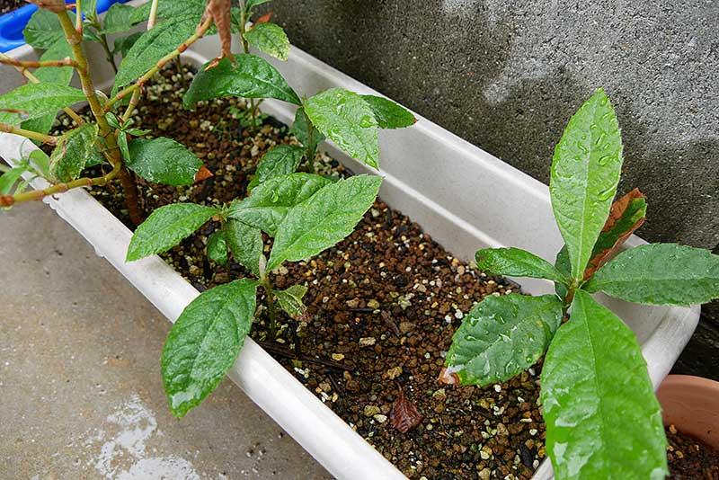 枇杷の種植えから4ヶ月後のプランター