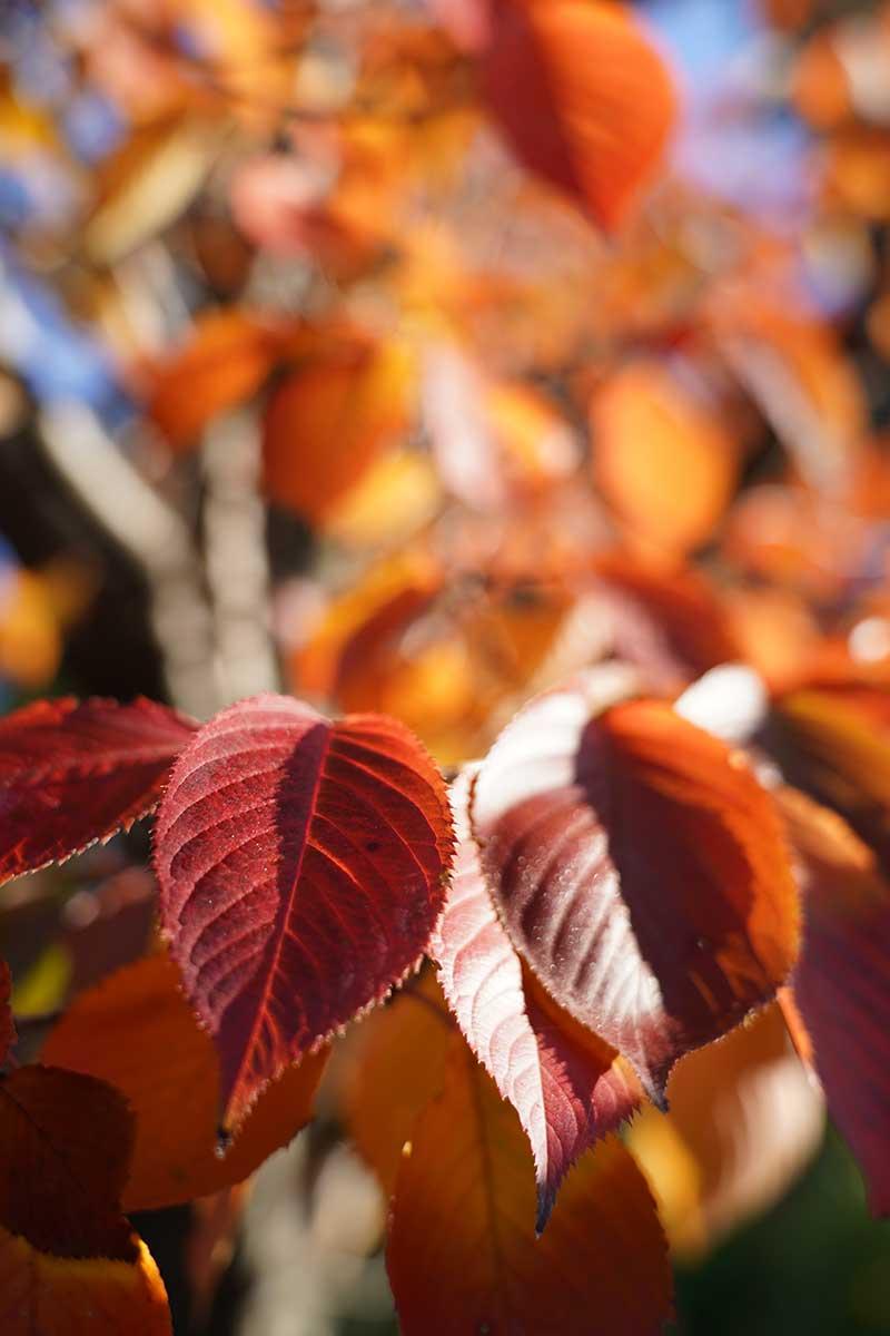 紅葉の葉・綺麗なボケ具合