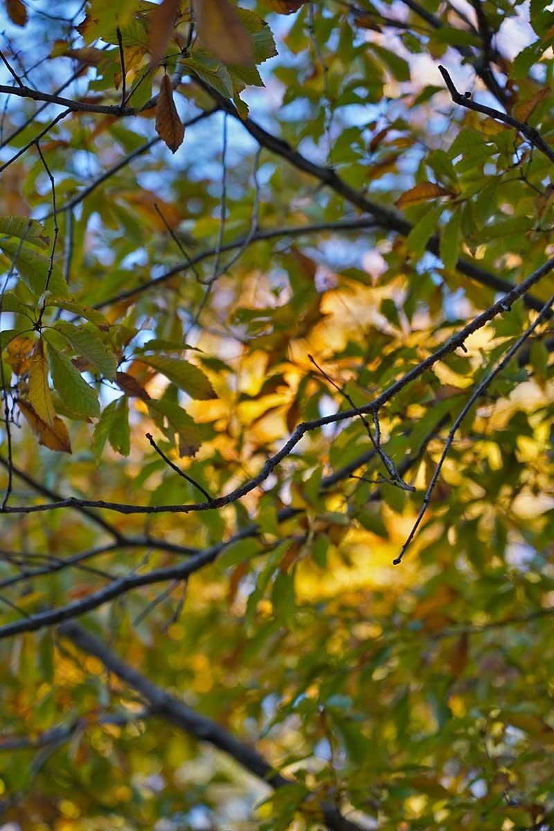 黄色く色付いた木々に夕日が当たる
