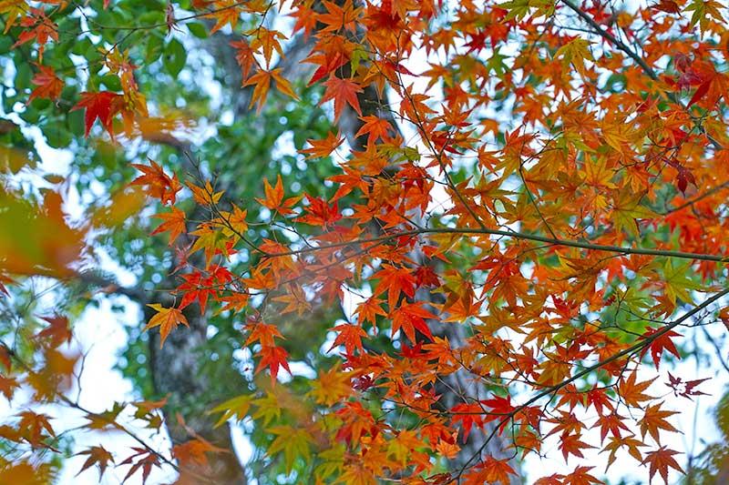 赤・黄・緑と綺麗なモミジの紅葉