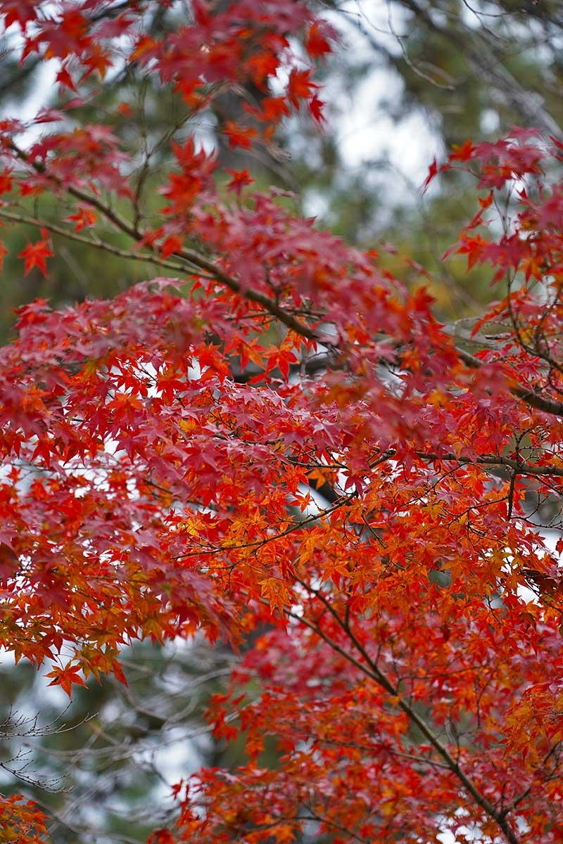 赤く色づいたモミジの紅葉
