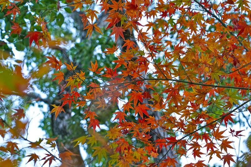 甲山のモミジ・紅葉