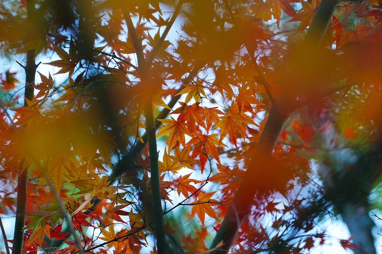 【写真展示】甲山森林公園周辺の紅葉 / 2020年11・12月