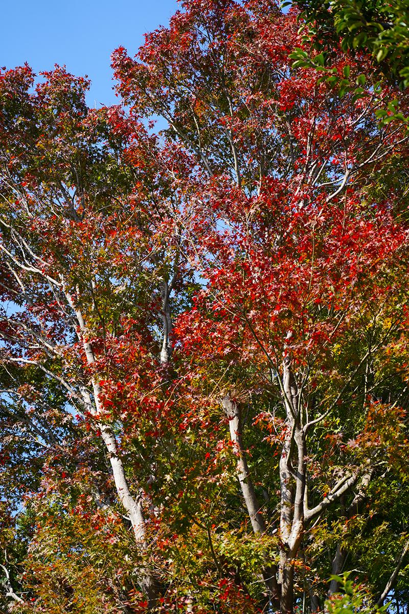 大沢西宮線周辺の紅葉