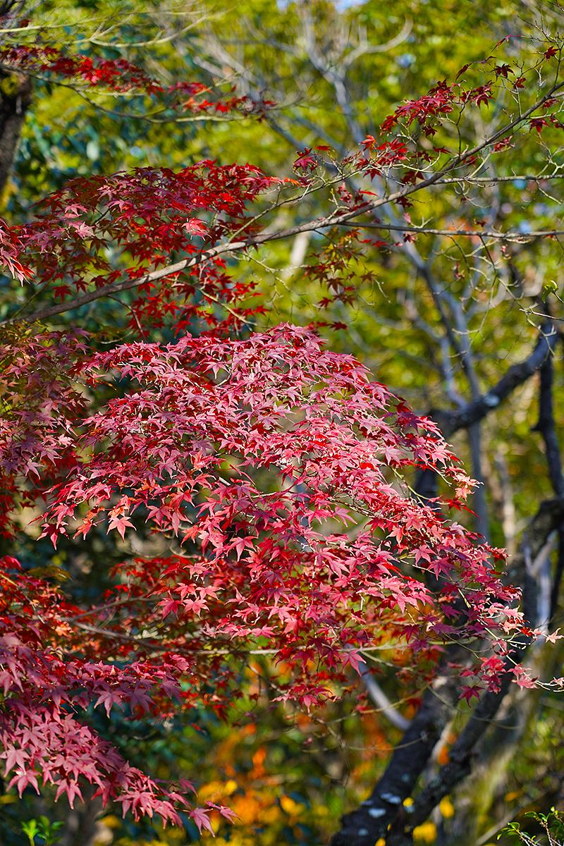 北山緑化植物園前の紅葉