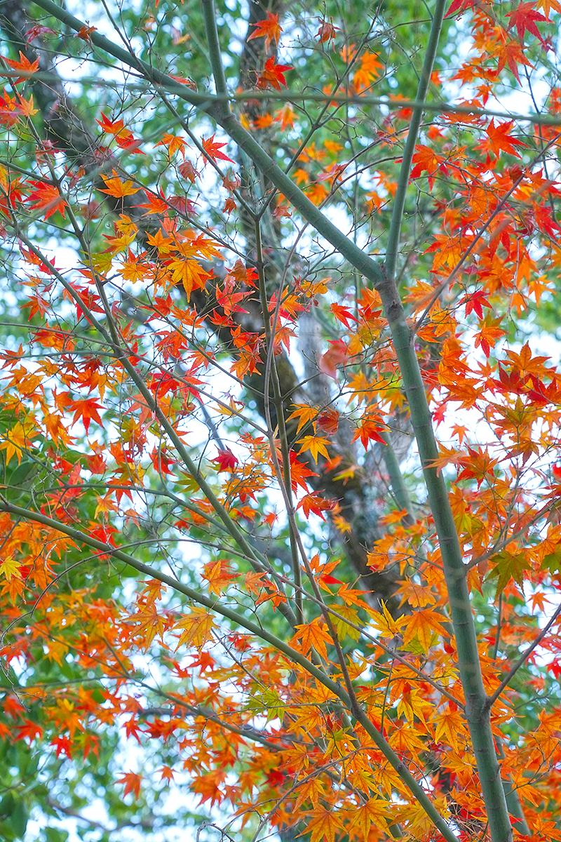 甲山森林公園の紅葉・12月