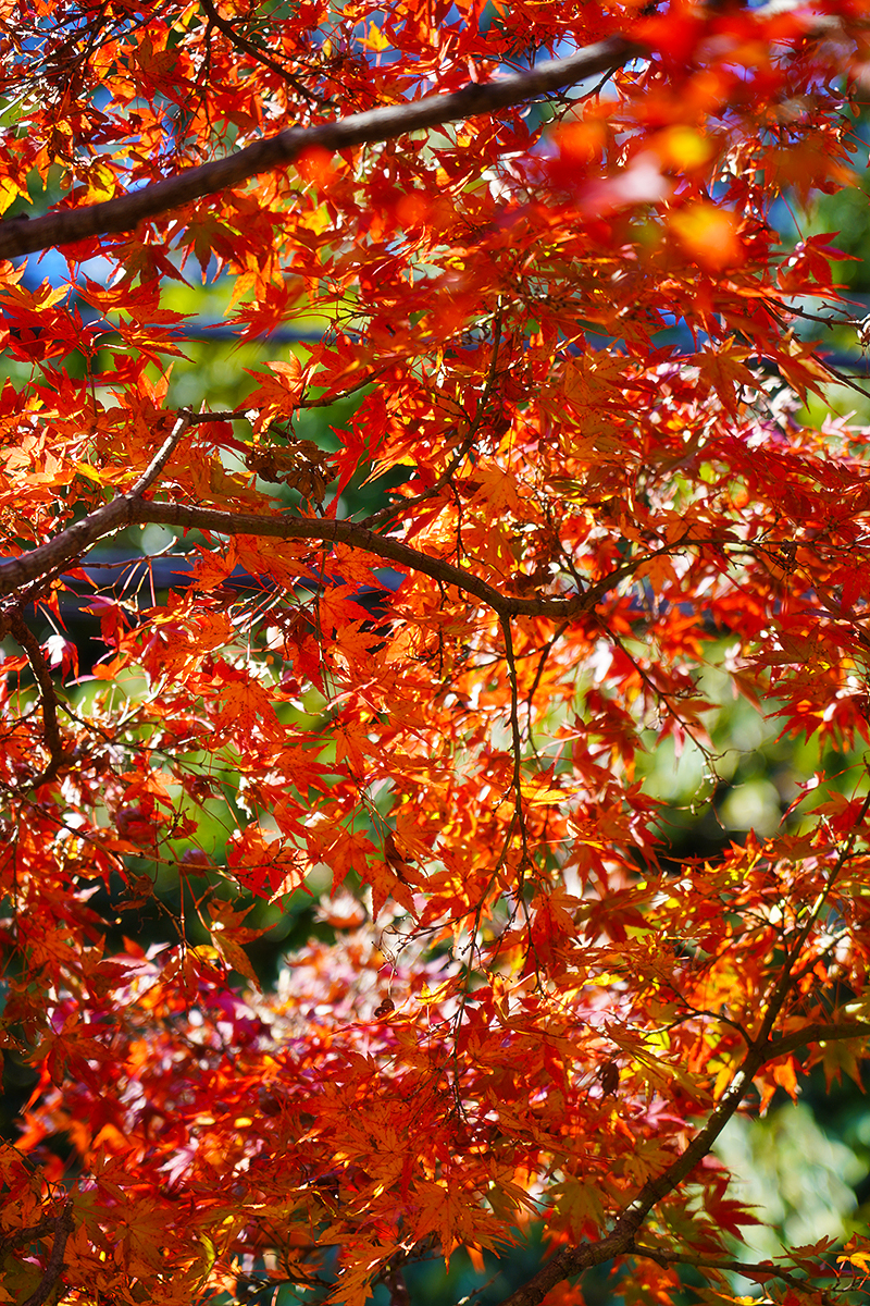 廣田神社横の公園の紅葉