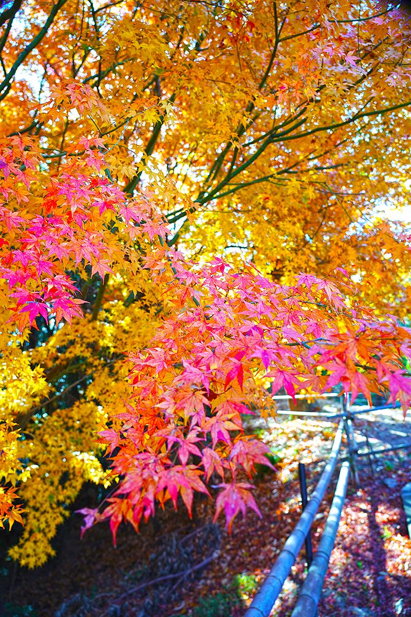 神呪寺前の紅葉(駐車場)