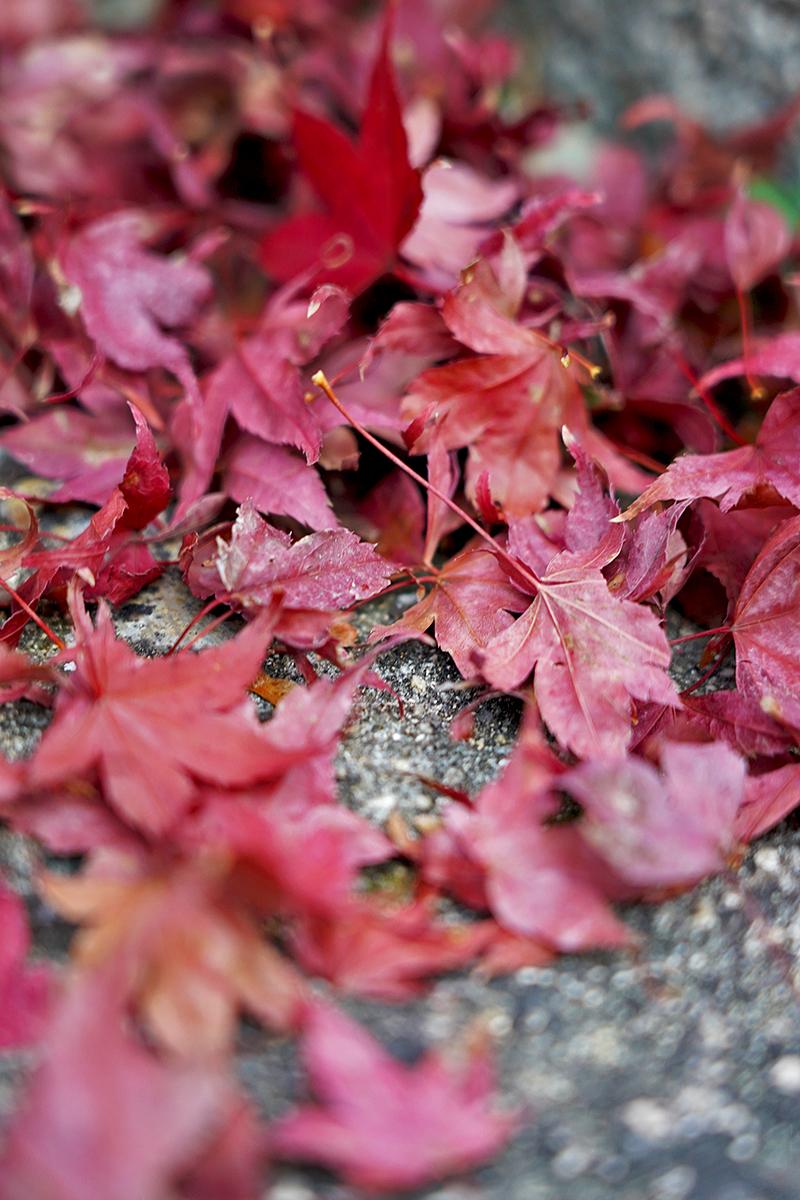 赤い紅葉の落ち葉