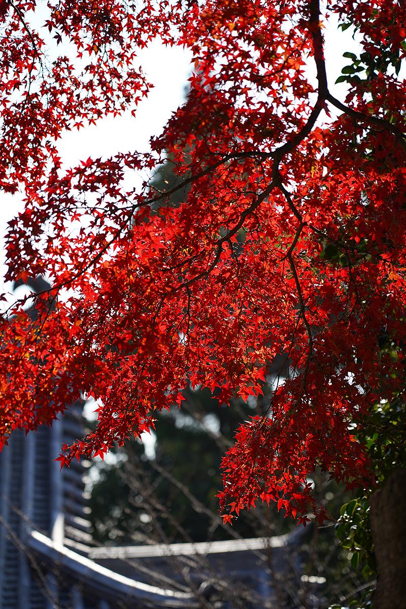 仁王門と真っ赤なモミジ