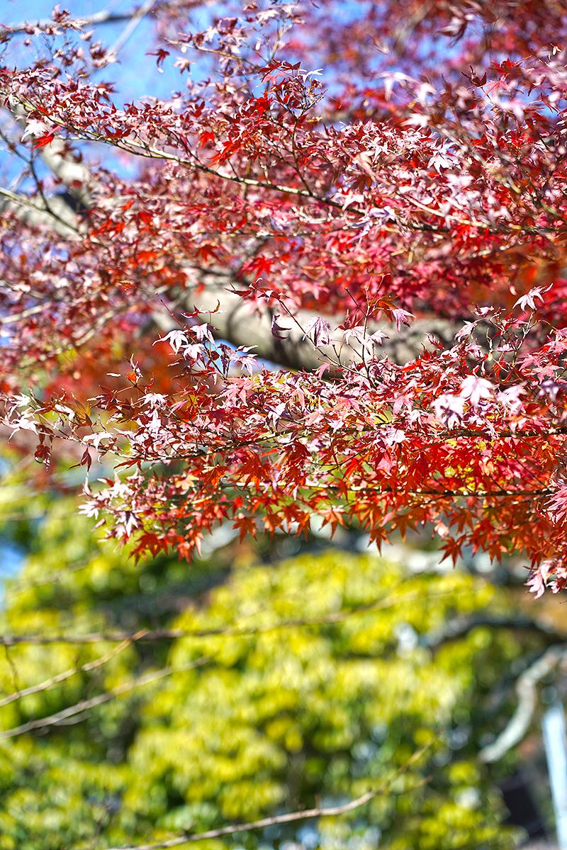 甲山の紅葉