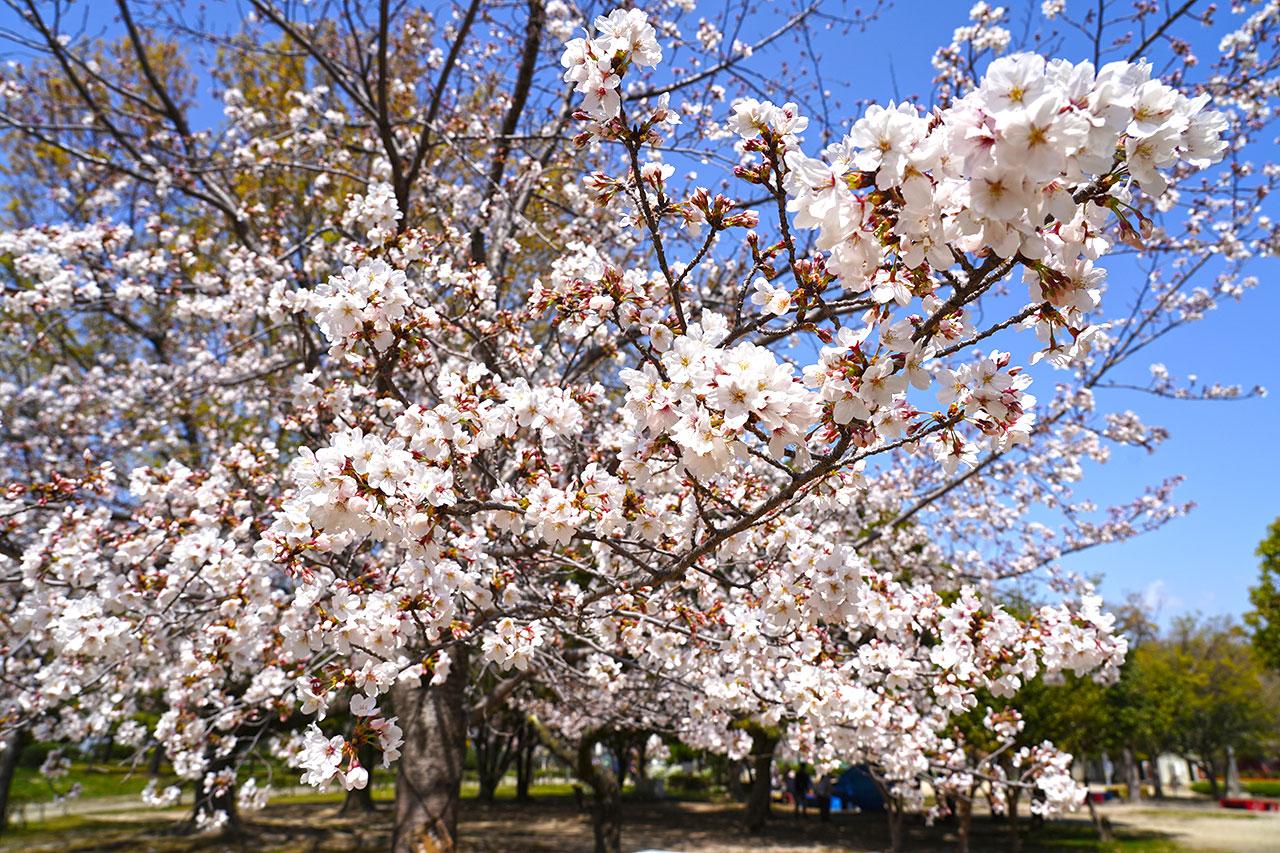 【2021】尼崎交通公園・桜や花の開花状況と混雑具合
