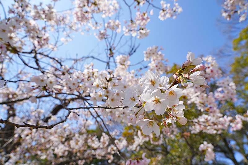 西武庫公園の桜