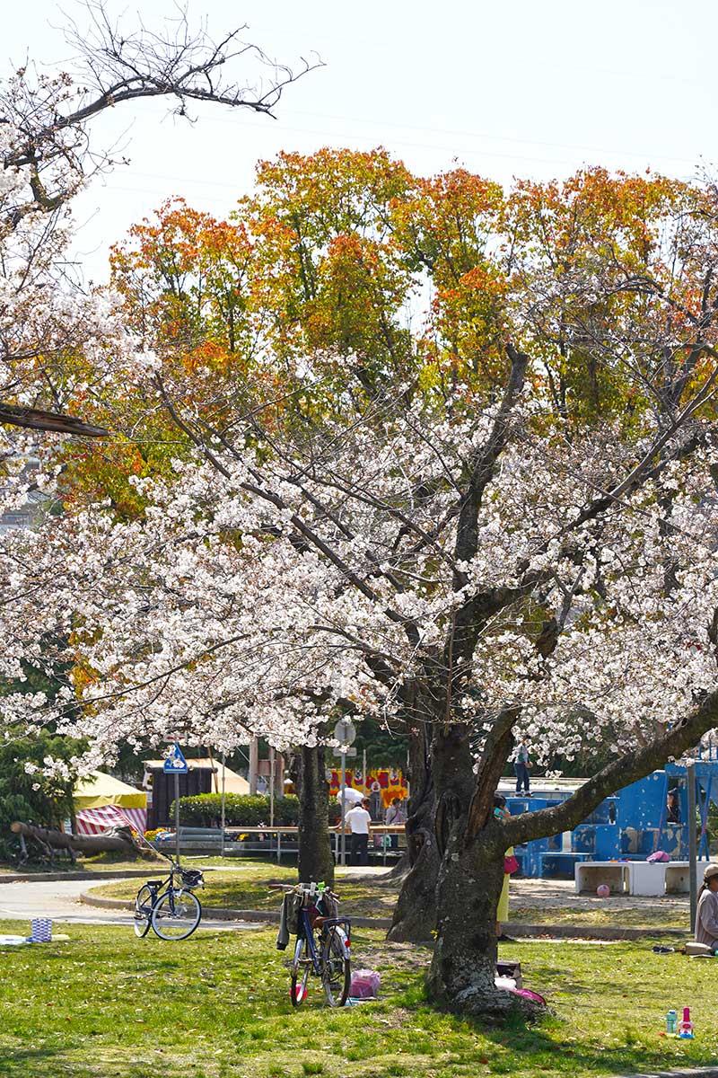 西武庫公園の桜の木