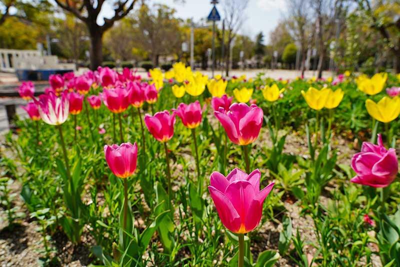 西武庫公園のロータリー・チューリップ花壇