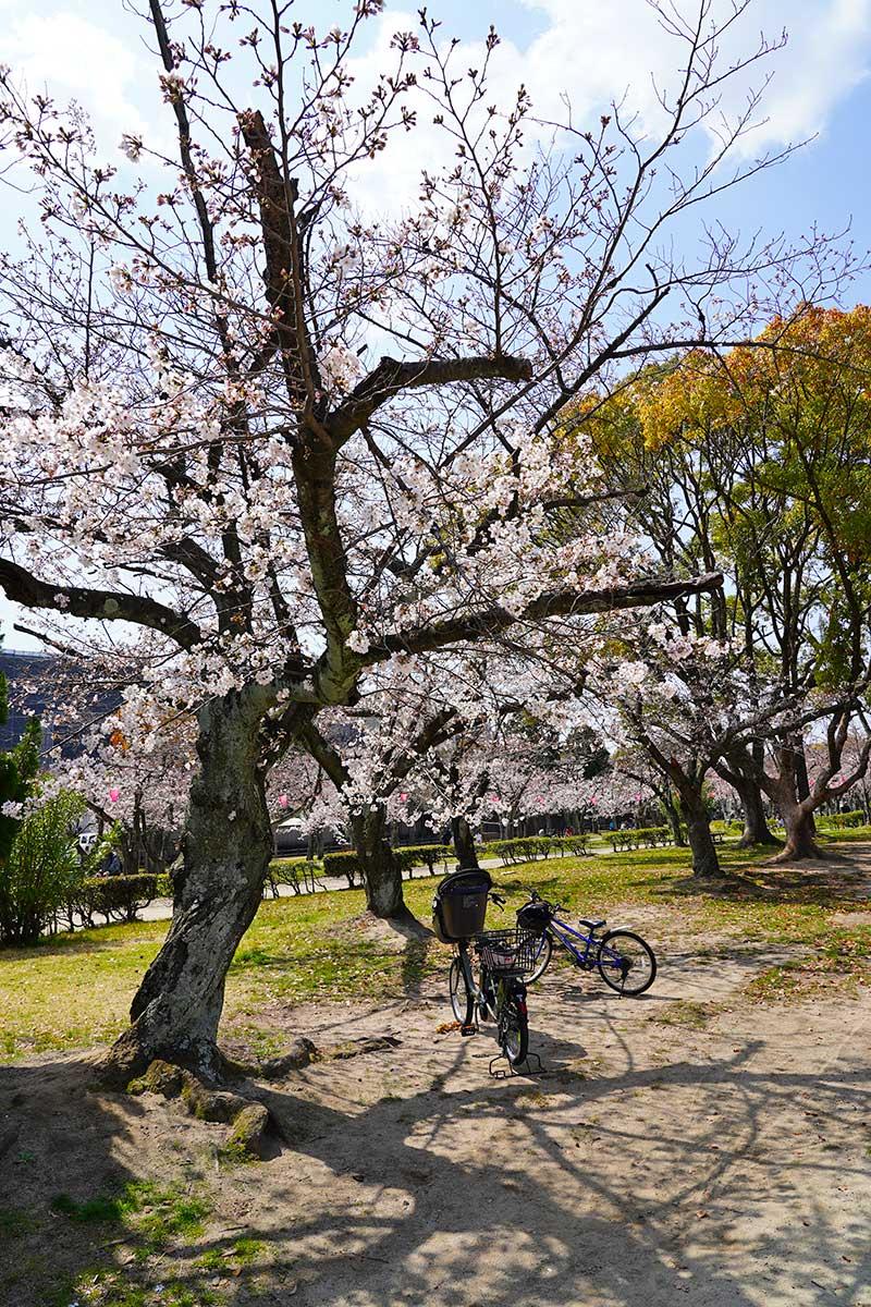 桜の木(6~7分咲き)