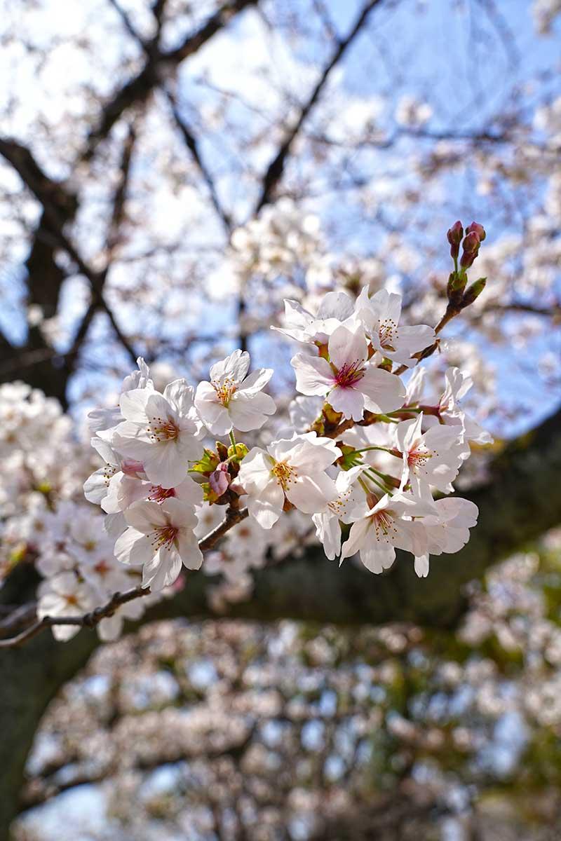 桜の花(8~9分咲き)