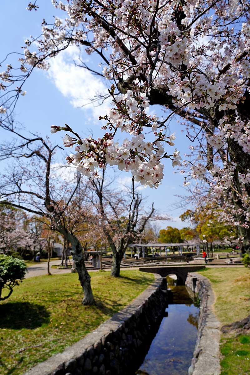水路と桜の花