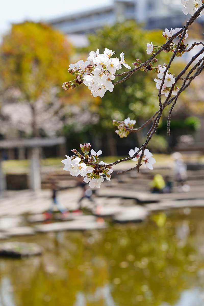 徒渉池と桜の木