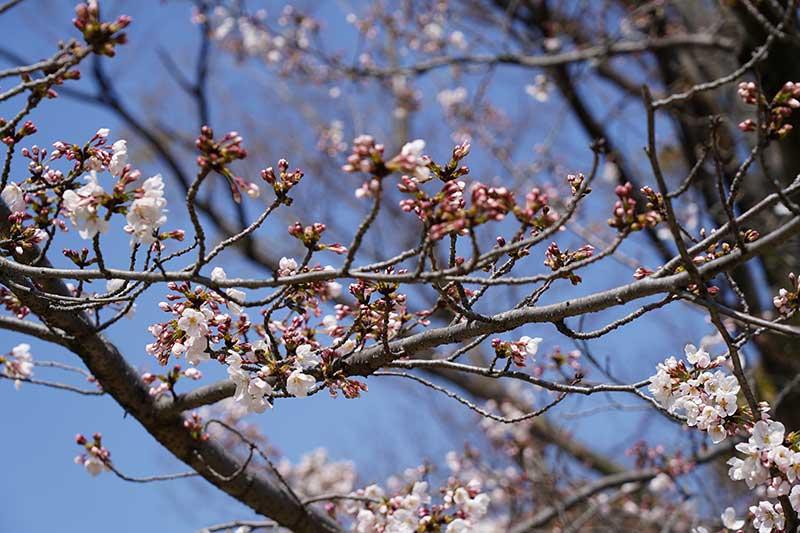 西武庫公園・桜のツボミ