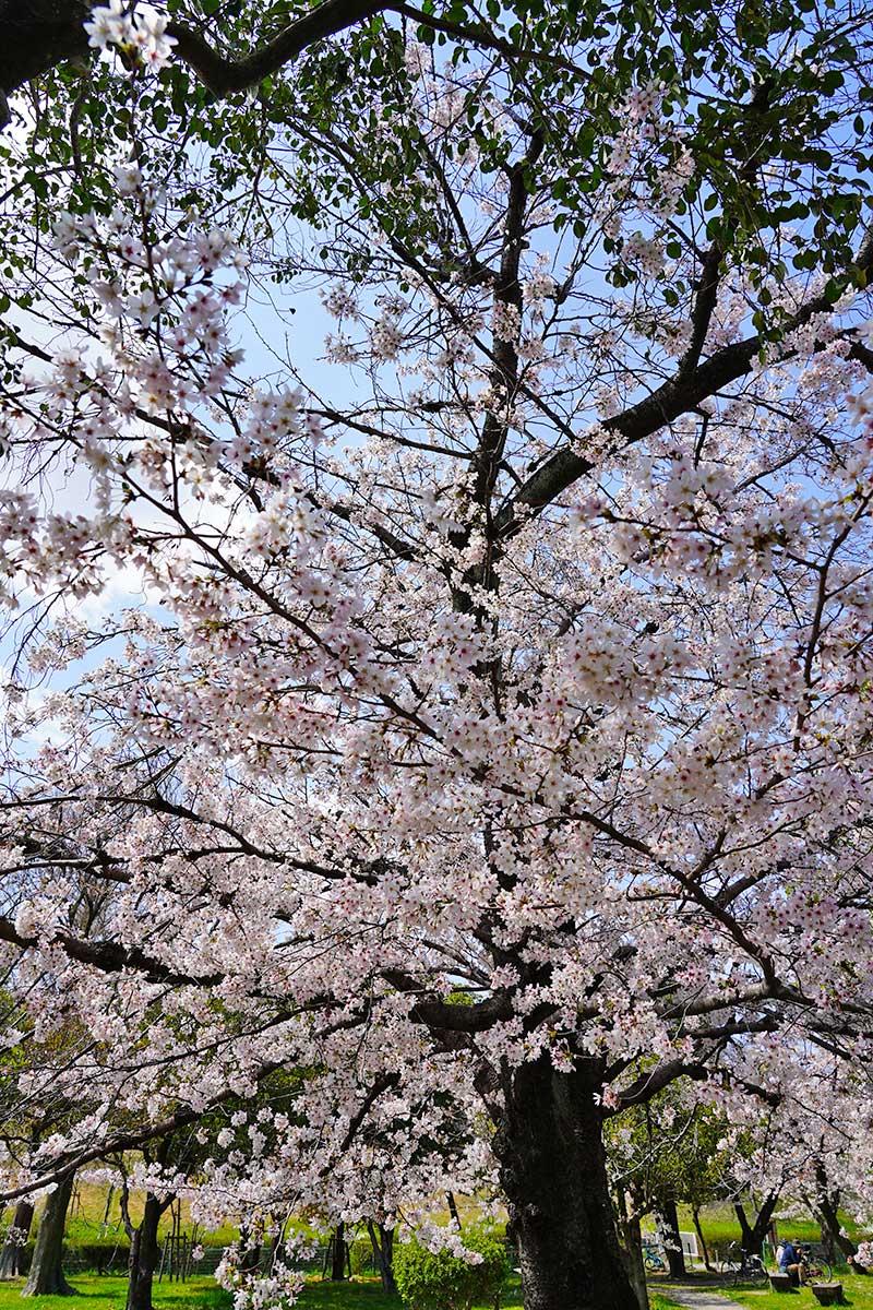 満開に近い桜の木
