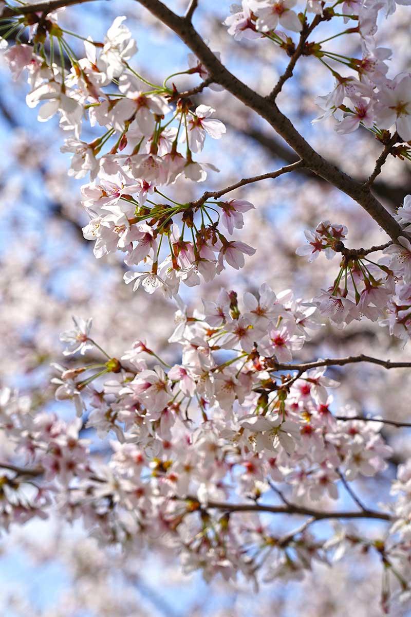 綺麗な桜の花びら